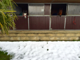 ponies of the riding school next to gland are looking outside their snowy boxes