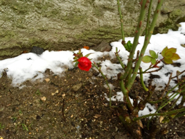 une rose qui pointe son bout du nez a travers la neige au poney club de begnins